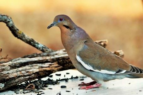 white-winged dove Opens in new window
