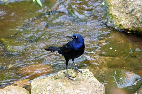 boat-tailed grackle Opens in new window